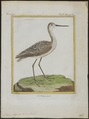 Totanus stagnalis - 1700-1880 - Print - Iconographia Zoologica - Special Collections University of Amsterdam - UBA01 IZ17400089.tif