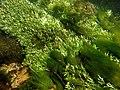 Touffes d'algues vertes filamenteuses dans Les Baillons aout2017 a 10.jpg