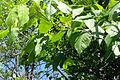 Toxicodendron radicans 03132.jpg