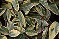 Trachelospermum jasminoides in Tropengewächshäuser des Botanischen Gartens 02.jpg