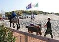 Traditionelle Krabbenfischerei zu Pferd in Brendene (Belgien) - Abtransport.jpg