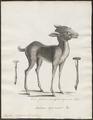 Tragulus pygmaeus - 1700-1880 - Print - Iconographia Zoologica - Special Collections University of Amsterdam - UBA01 IZ21500170.tif