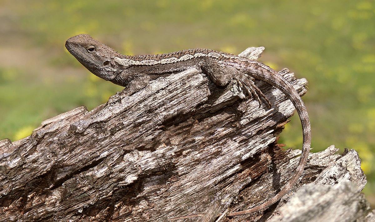 K Dragon Lizard Jacky dragon - ...