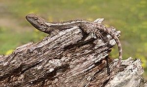 Bild einer mittelgroßen, braunen Echse auf einem Ast. Sie heißt Amphibolurus muricatus und ist ein naher Verwandter der Kragenechse