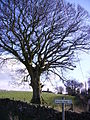 Tree Old Hutton - geograph.org.uk - 124039.jpg