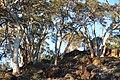 Trees on a rocky outcrop, Dryandra Woodland, Western Australia.jpg