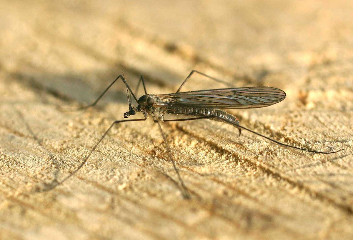 Stechmücken Deutschland