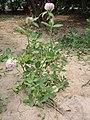TrifoliumPratense3.jpg
