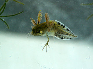 Larva mloka hrebenatého strednej veľkosti