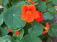 Tropaeolum majus 1 - London.jpg