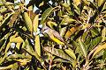 Tropical Kingbird (Tyrannus melancholicus) (8079383658).jpg