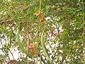 Trumpted vines (5816905552) (2).jpg