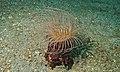 Tube Anemone (Cerianthus sp.) (8456858632).jpg