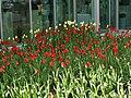 Tulip Festival in assiniboine park winnipeg manitoba canada 1 (4).JPG