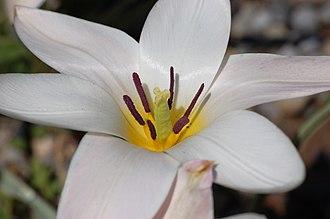 Tulipa clusiana - Image: Tulip Tulipa clusiana 'Lady Jane' Rock Ledge Flower Closeup 3008px