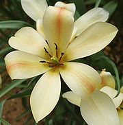 TulipaBataliniiBronzeCharm.jpg