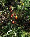 Tulipa clusii Tubergen's Gem - Flickr - peganum.jpg