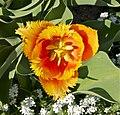 Tulipa cultivar Jdp.jpg