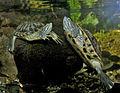 Turtles (6896989035).jpg