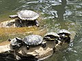 Turtles at the BYU Duck Pond (42425240401).jpg