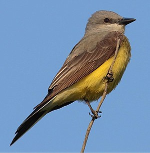 Western kingbird - Image: Tyrannus verticalis 3