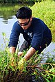 US Navy 100123-N-0995C-046 Culinary Specialist 2nd Class Timothy Niitani pulls out mangroves at the Pouhala Marsh during a volunteer restoration project.jpg