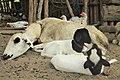 Une brebis et ses agneaux au repos.jpg