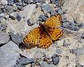 Unknown butterfly at the mouth of Mosaic Canyon.JPG