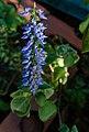 Unknown flower in Margarita Island, Venezuela.jpg