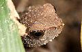 Unknown frog (14340070638).jpg