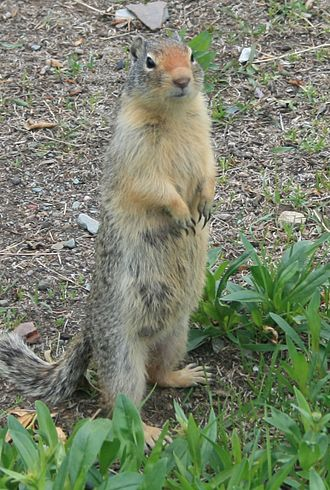 Columbian ground squirrel - Standing at attention