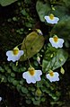 Utricularia striatula 03.JPG