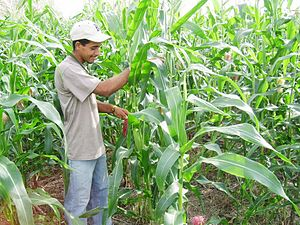 Agriculture in Panama - Maize cultivation in Panama.