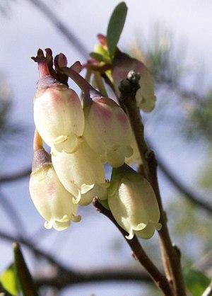 Vaccinium uliginosum - Flowers