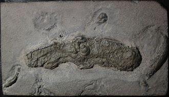 Vampire squid - Pyritized fossil of Vampyronassa rhodanica from the Lower Callovian of La Voulte-sur-Rhône.