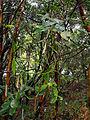 Vanille Pointe des Cascades 2.jpg