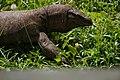 Varanus bengalensis09389.jpg