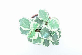 Piperaceae - varigated peperomia