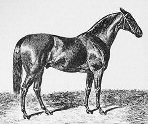 Vedette (horse) - Drawing of Vedette