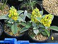 Verbascum dumosum - Flickr - peganum.jpg