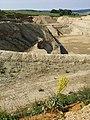 Verbascum speciosum sl43.jpg