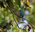 Verditer Flycatcher (Eumyias thalassina) on a Kamala (Mallotus philipensis) tree W Picture 149.jpg