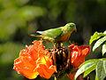 Vernal Hanging Parrot Loriculus vernalis by Dr Raju Kasambe (2).JPG
