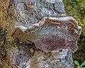 Versteende berkendoder (Piptoporus betulinus). 12-07-2020 (d.j.b.) 01.jpg