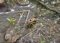 Vespula maculifrons P1370470a.jpg