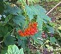 Viburnum opulus Fruchte 2014.jpg