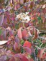 Viburnum plicatum tomentosum BotGardBln1105Fall.JPG