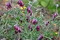Vicia benghalensis 3.JPG