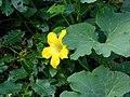 Victoria - Bolo - Gallina (Cucurbita ficifolia) - Flickr - Alejandro Bayer.jpg