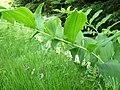 Vielblütige Weißwurz, Naturpark Bayerischer Wald.jpg